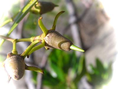 メヒルギ種子1.png