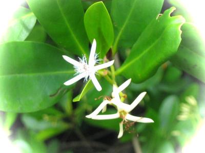 メヒルギ花.png